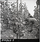 GFA 17/510963.3: Grape harvest at the apprentices' home in Dachsen