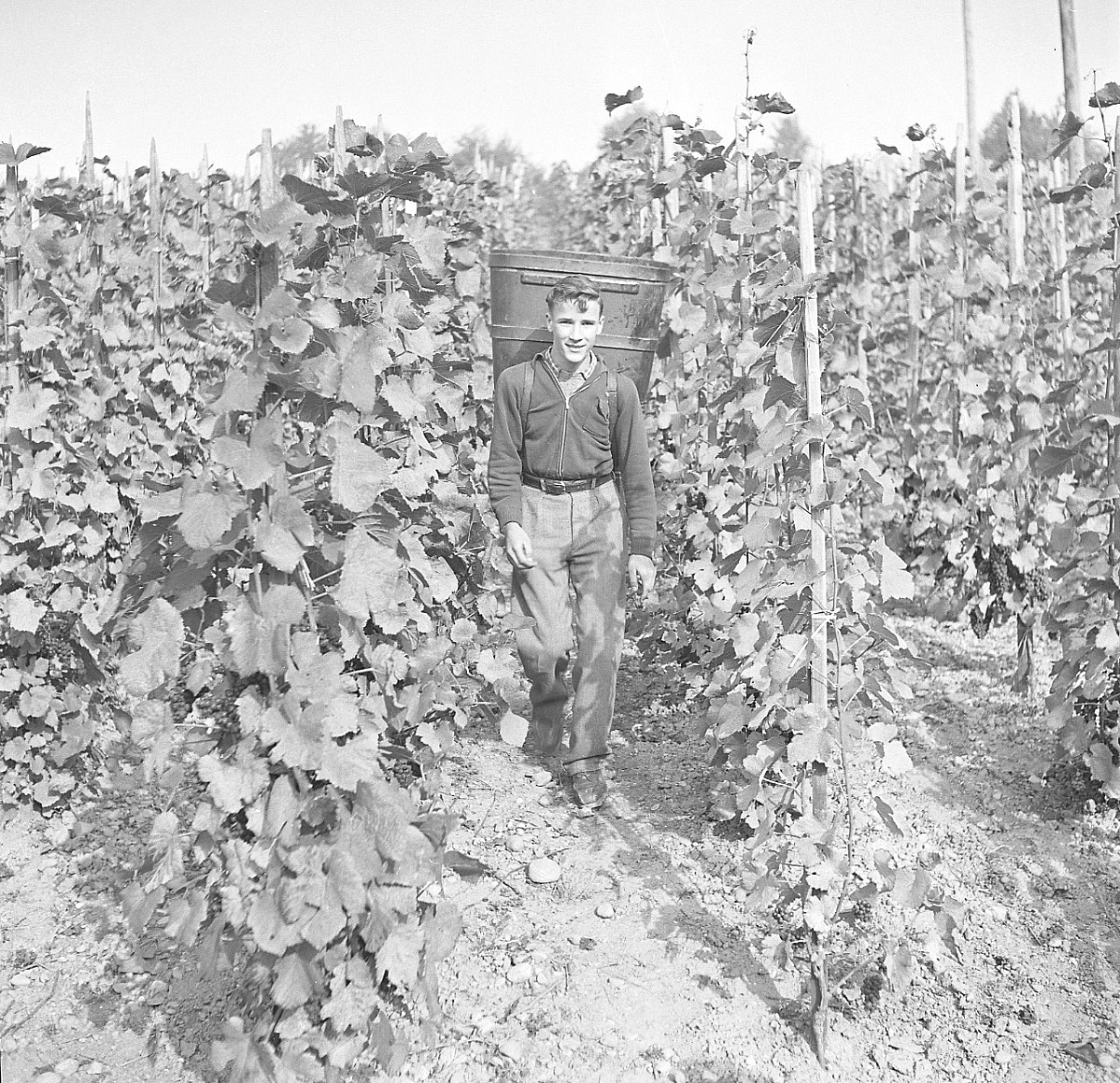 GFA 17/510963.10: Grape harvest at the apprentices' home in Dachsen