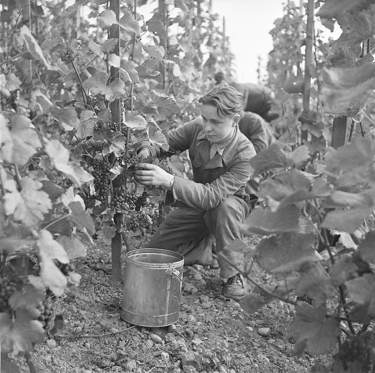 GFA 17/510963.4: Grape harvest at the apprentices' home in Dachsen