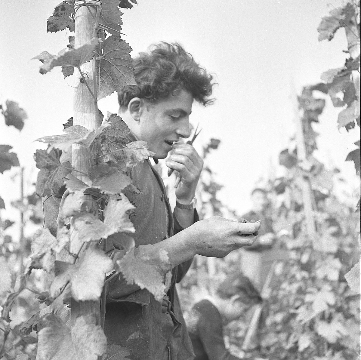 GFA 17/510963.6: Grape harvest at the apprentices' home in Dachsen