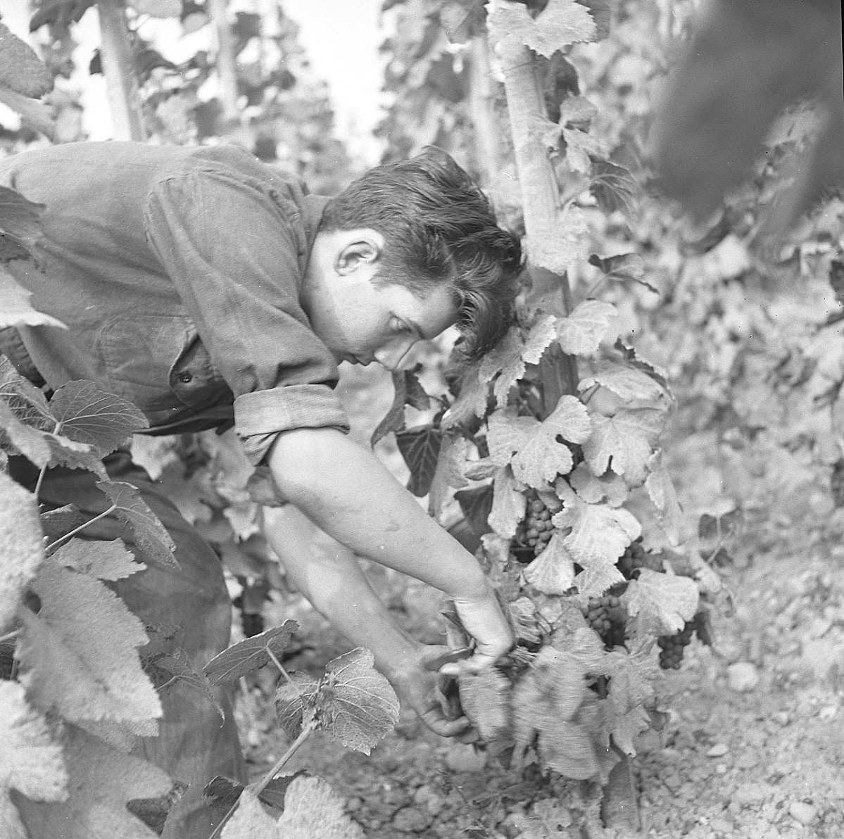 GFA 17/510963.7: Grape harvest at the apprentices' home in Dachsen